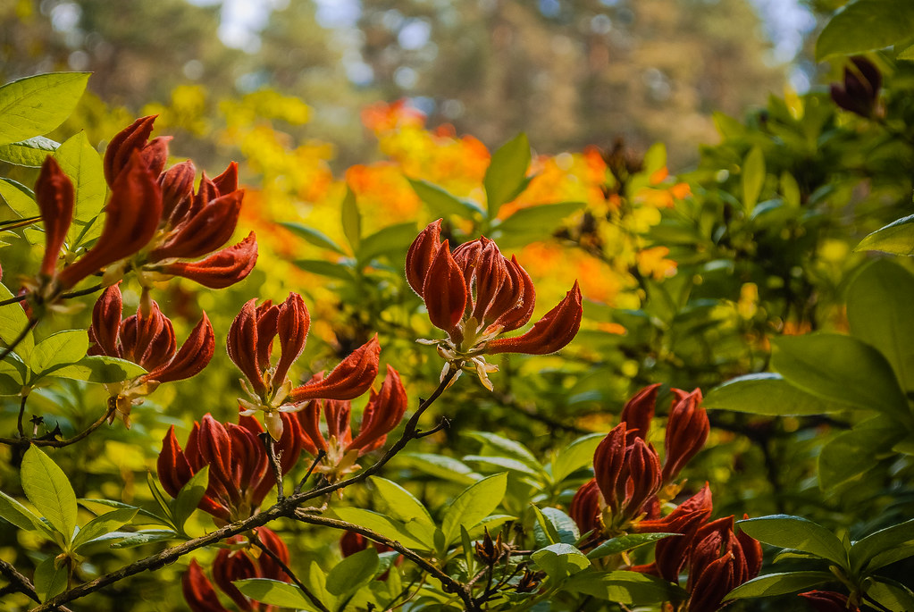 blooming rhododendrons. цветение рододендронов. Babite
