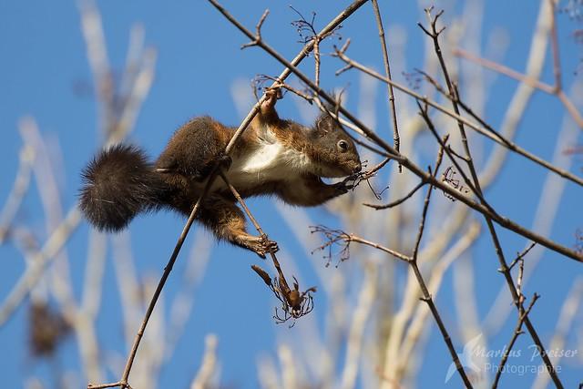 akrobatisches Eichhörnchen
