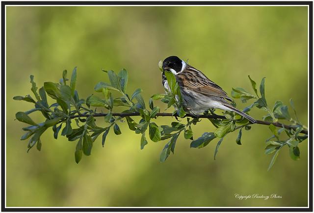Male Reed bunting-Emberiza schoeniclus.