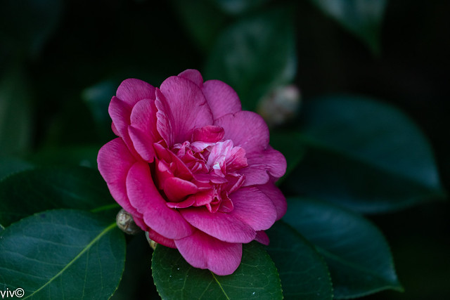 Today's Camellia bloom