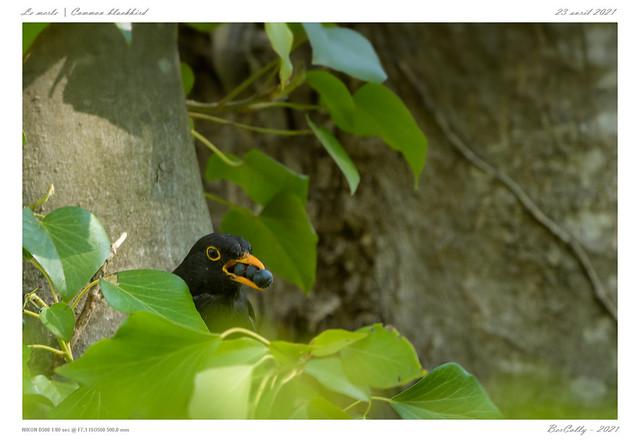 Le merle | common blackbird