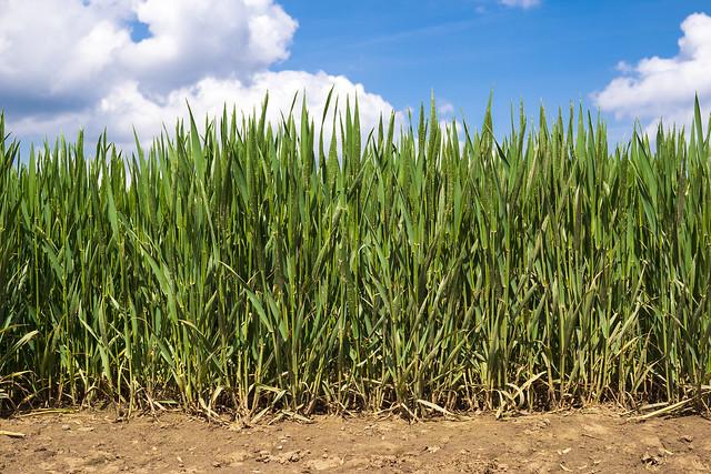 Crop Wall