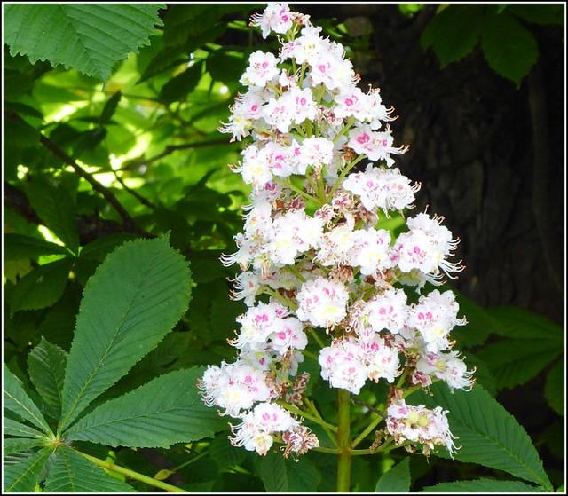 Horse Chestnut Tree Flower ..