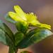 Leuenbergeria aureiflora