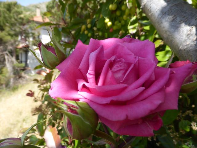 Pink beauty!!  P1110676