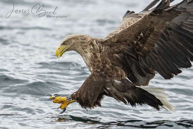 White-tailed Eagle (Haliaeetus albicilla) about to grab a fish from the water