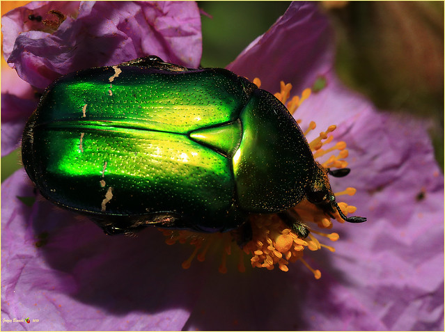 Hexapoda Coleoptera Cetoniidae - Cetonia aurata pisana su fiore di cisto- Dintorni Firenze