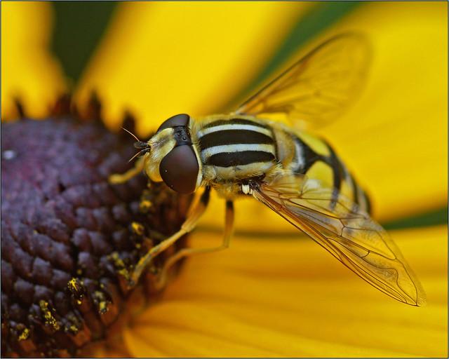 Sun fly (Helophilus pendulus)