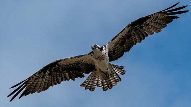 California Osprey