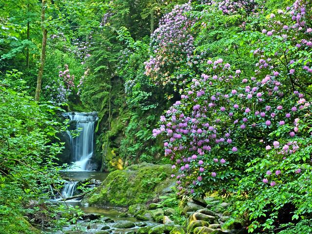 Rhododenronblüte beim Gerolsauer Wasserfall