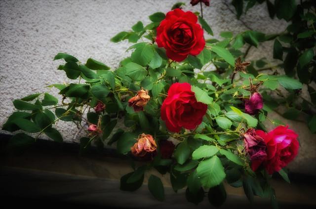 June roses ...