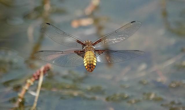 flat-bellied dragonfly in full flight