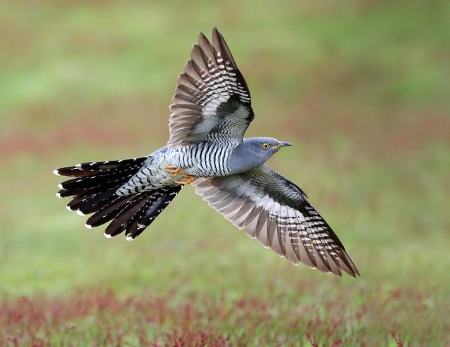 Cuckoo - in flight #1