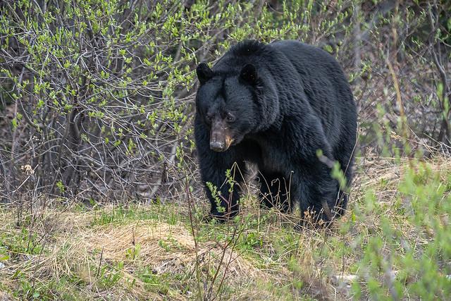 Black Bear roaming