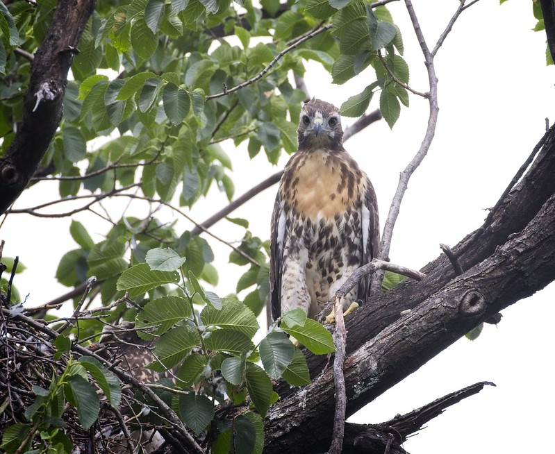 Tompkins red-tail chick