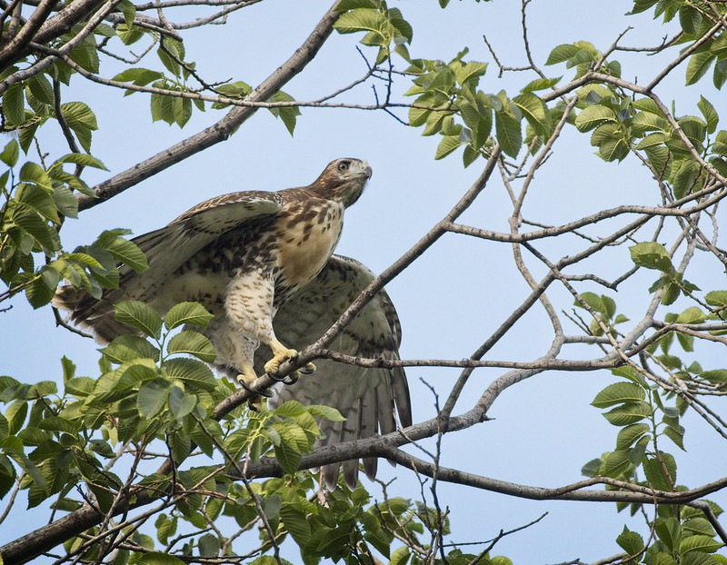 Tompkins red-tail chick branching