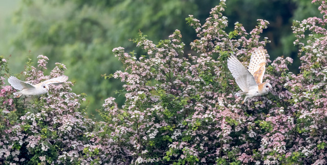 Barn Owls And Blossom