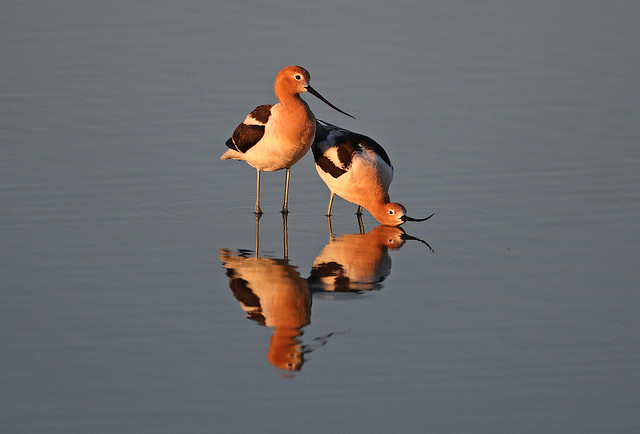 Avocet Guy And Gal Reflected
