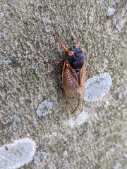 Ascending cicada, also an aged cicada