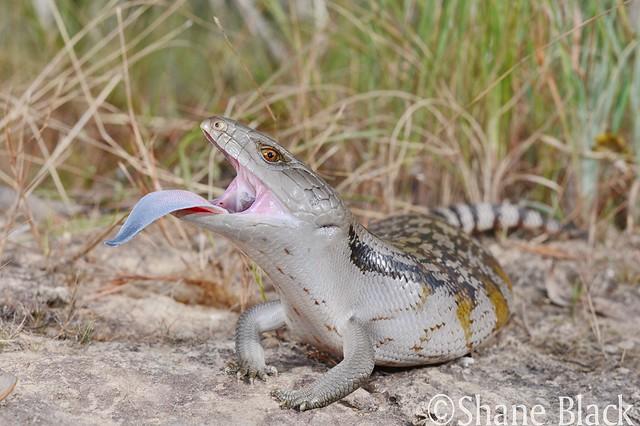 Blue-tongued Skink (Tiliqua scincoides)