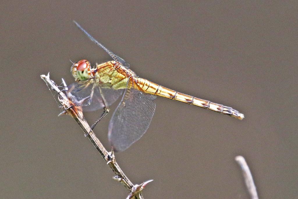 IMG_71810 Band-winged Dragonlet 06 09 21