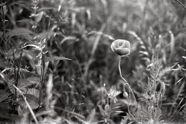 Poppy-and-nettle time
