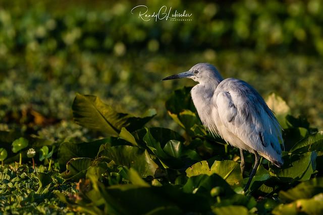 Little Blue Heron   Egretta caerule   2021 - 2