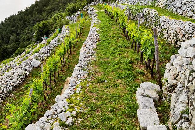 Vinograd Takala na praputnjarskim prezidima