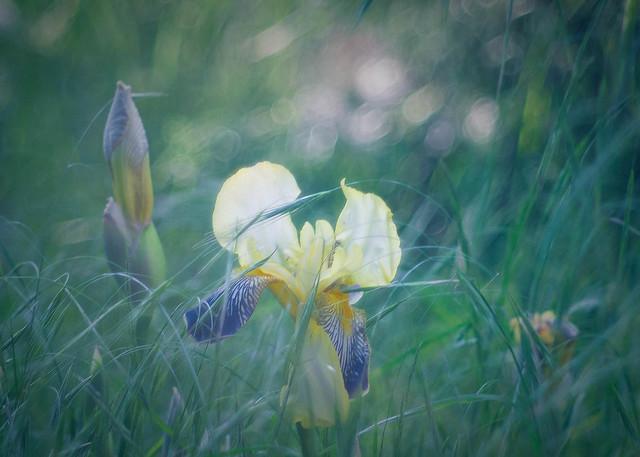 Meadow Queen