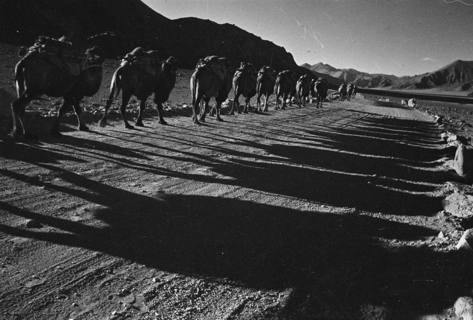 1937. Памирская трасса. Верблюды. Тени