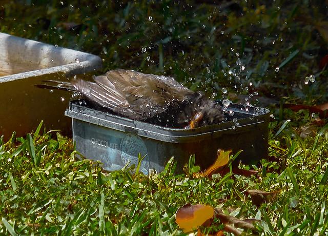 jlvill  0551 Mirlo pasado por agua     🛀
