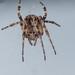 Larinioides sclopetarius