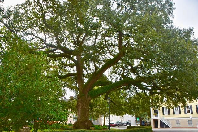 Impressive tree - Savannah, Georgia