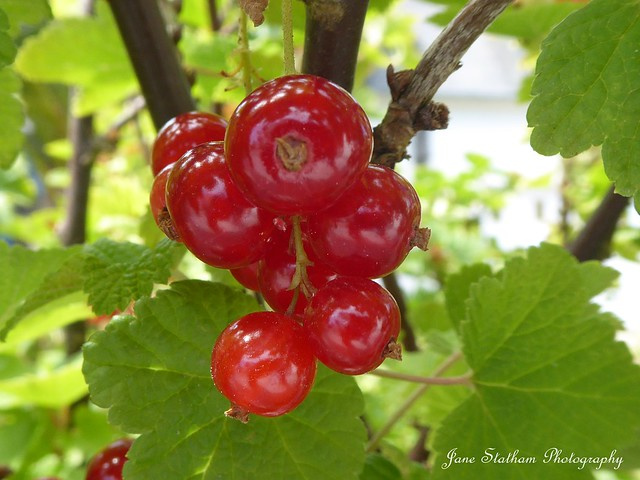 They're redcurrants.