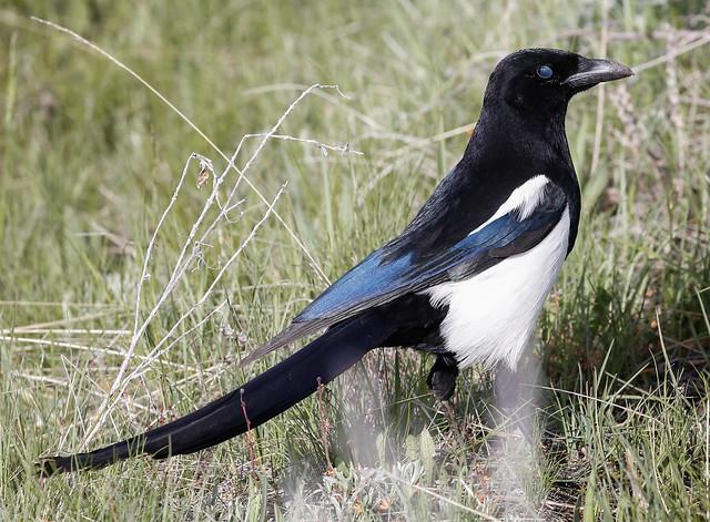 Black-billed magpie - 8567
