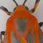 10 H miniata Ontario bugsrock iNat 57226406 copy