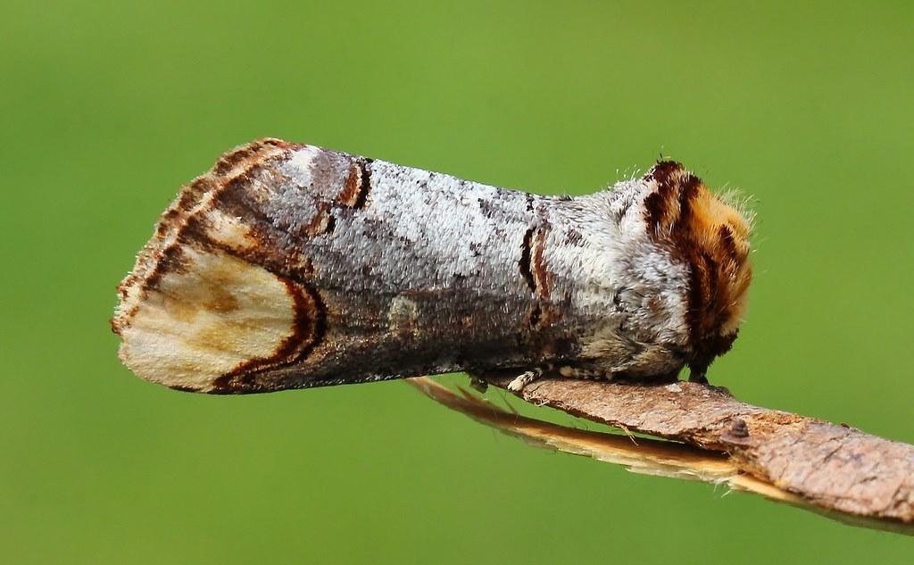 Buff Tip -  Phalera bucephala 070621 (1)