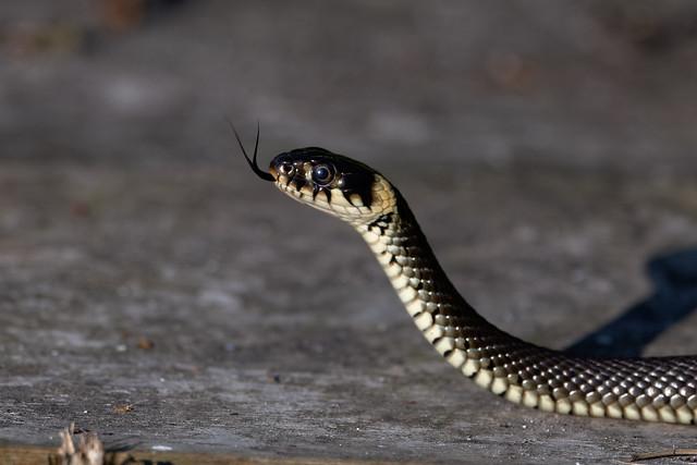 Ringelnatter / grass snake