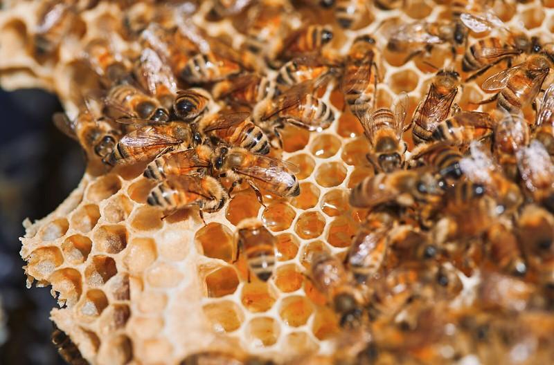 Pouatu honeycomb bees
