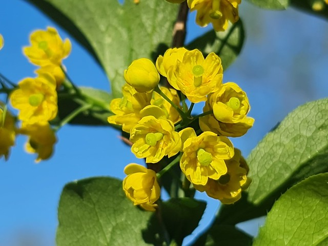 Die Berberitze (Berberis vulgaris) blüht