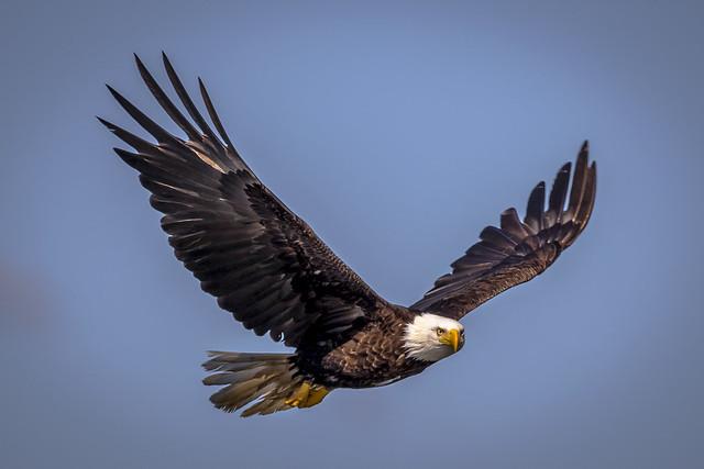 Bald Eagle Stare
