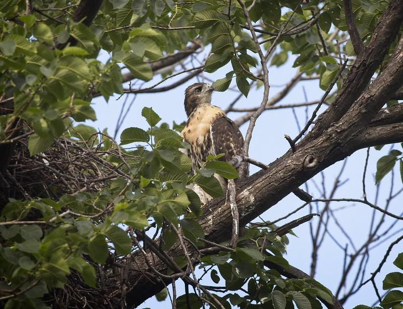 Tompkins red-tail chick #2