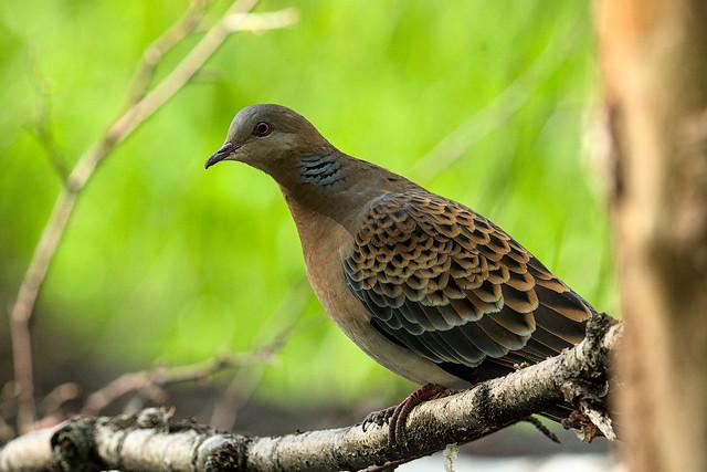 горлица обыкновенная / european turtle-dove 20210605__DSC2758