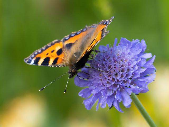 Kleiner Fuchs auf Flockenblume - Aglais urticae