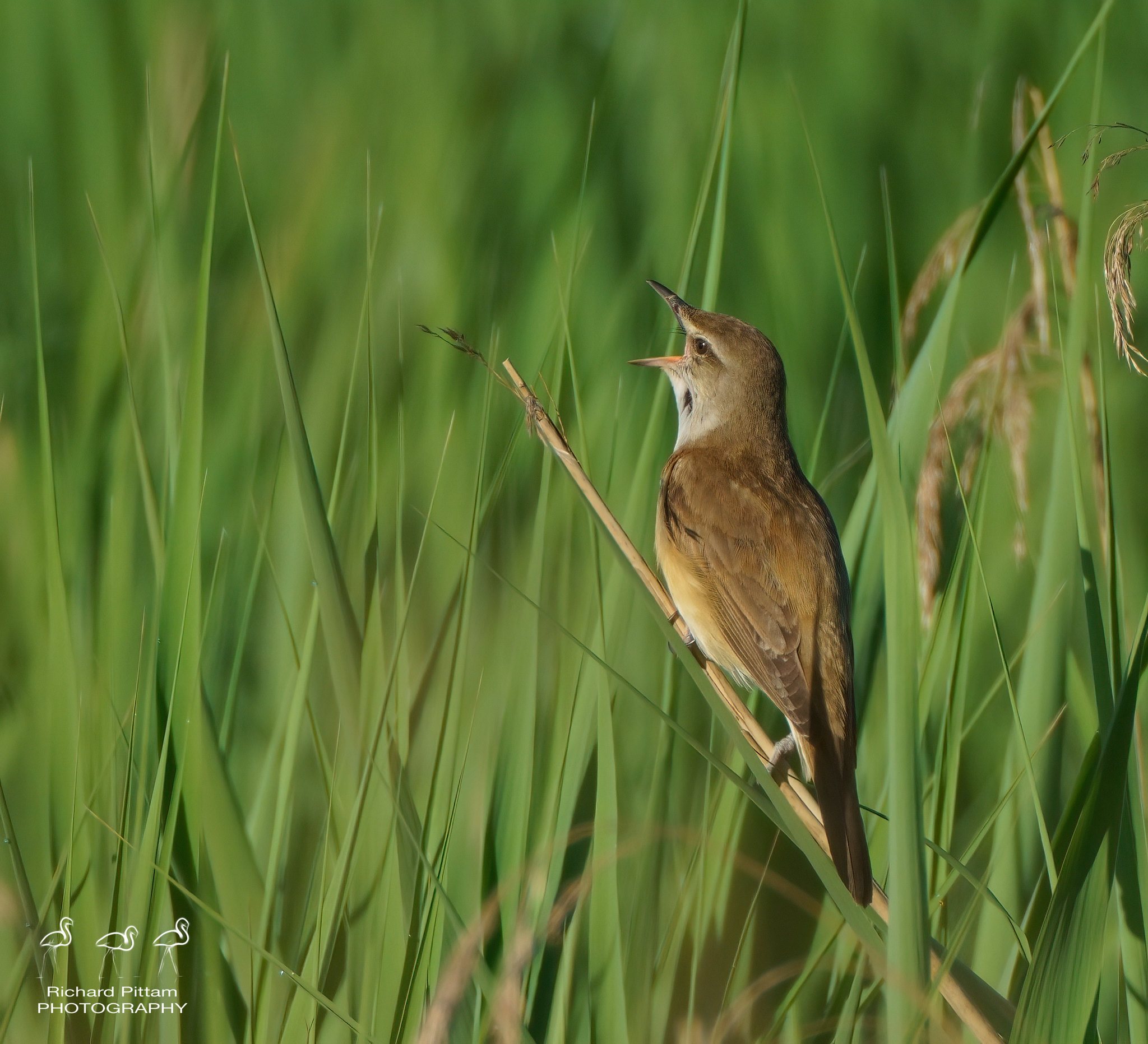 Great Reed Warbler - early morning session