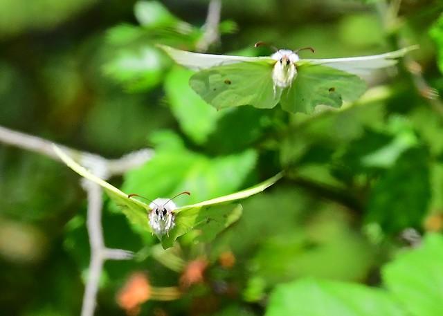 Brimstone Butterflies (in flight)