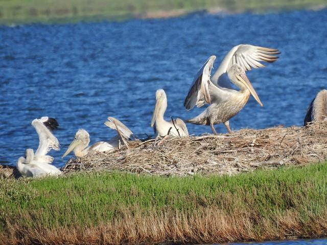Pelícanos dálmata en la laguna Karavasta (Albania)