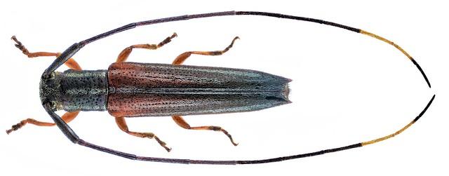 Nyctimenius tristis (Fabricius, 1792)