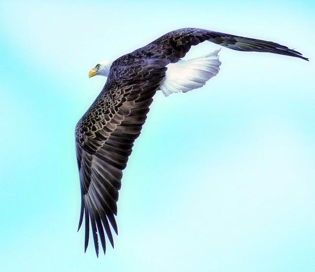Mature Bald Eagle Over The Lake
