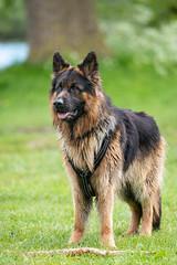 Prachtige herdershond